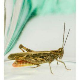 C3042 Woodland Grasshopper – Omecestus rufipes 2/10