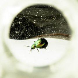 C3048 Dock Beetle – Gastrophysa viridula