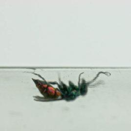 C3046 Ruby-Tailed Wasp – Chrysis ignita 2/10