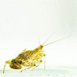 C3055 Stone Clinger: Autumn Dun Fly Nymph – Ecdyonurus dispar 3/10