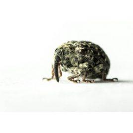 C3015 Weevil – Cionus Hortulanus